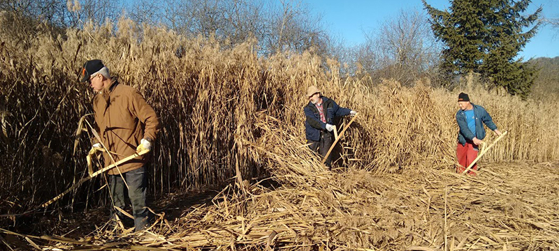 The reeds are well above man height